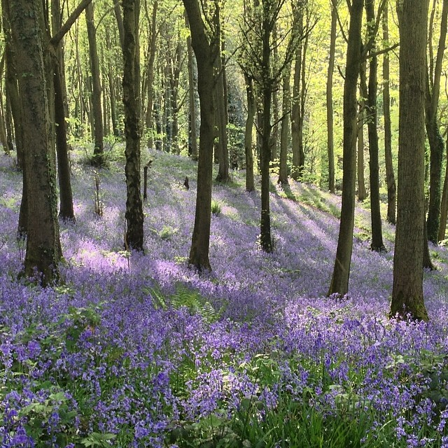 Bluebells at Welshbury Hill, Forest of Dean